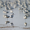 Flock of Pied Avocet (Recurvirostra avosetta) [反嘴鹬 fǎn-zuǐ-yù, 'curved-bill yu'] at Poyang Wetland, Wucheng, Jiangxi, China.