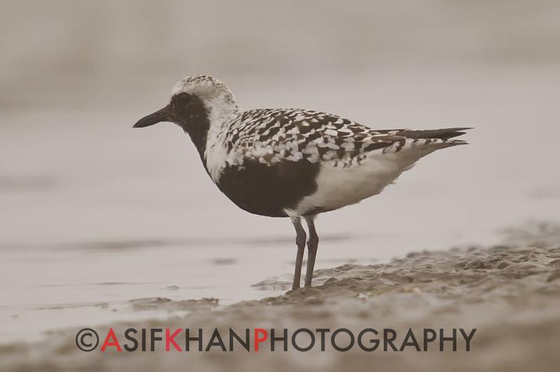 Grey Plover (Pluvialis squatarola) [灰鸻 huī héng, 'grey plover'] near Happy Island, Hebei, China