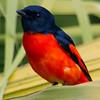 Scarlet Minivet (Pericrototus flammeus) [赤红山椒鸟 chì-hóng shān-jiāo-niǎo, 'scarlet-red prickly-ash bird'] at Sheng Tai Yuan, Ruili, Yunnan, China