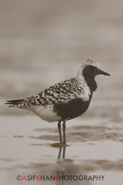 Grey Plover (Pluvialis squatarola) [灰鸻 huī héng, 'grey plover'] near Happy Island, Hebei, China