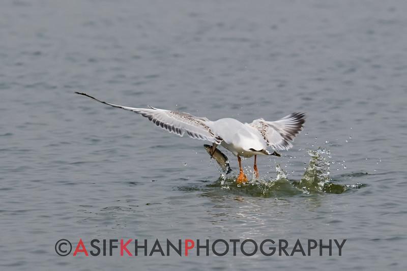 Black-headed Gull (Larus ridibundus) [红嘴鸥 hóng-zuǐ ōu, 'red-billed gull'] at Xinyanggang / Yancheng, Jiangsu, China