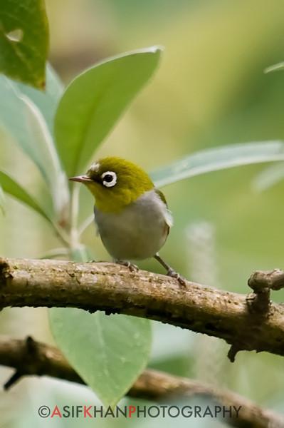 Chestnut-Flanked White-Eye (Zosterops erythropleurus) [红胁绣眼鸟 hóng-xié xiù-yǎn-niǎo, 'red-ribbed embroidered eye bird'] at Nanjingli Ridge, Ruili, Yunnan, China