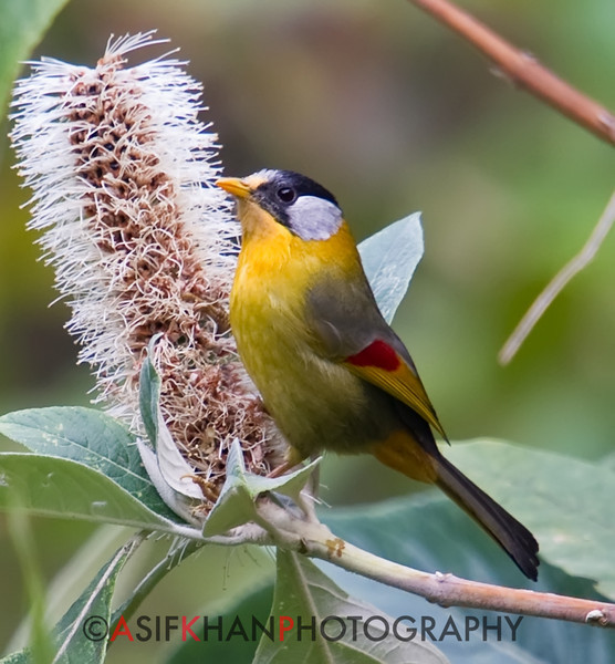 Silver-Eared Mesia (Leiothrix argentauris) [银耳相思鸟 yín-ěr xiāng-sī-niǎo, 'silver-eared mutual-thought (yearn with love) bird'] at Nanjingli Ridge, Ruili, Yunnan, China