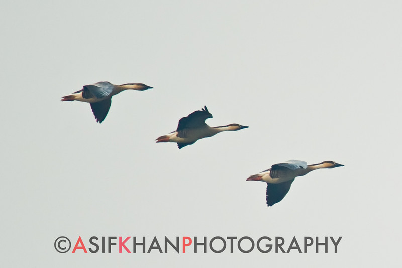 Swan Goose (Anser cygnoides) [鸿雁 hóng-yàn, 'swangoose goose'] in flight at Poyang Wetland, Wucheng, Jiangxi, China.