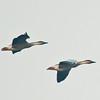 Swan Goose (Anser cygnoides) [鸿雁 hóng-yàn, 'swangoose goose'] in flight at Poyang Wetland, Wucheng, Jiangxi, China.
