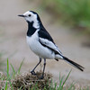 White Wagtail (Motacilla alba) [白鹡鸰 bái jílíng, 'white wagtail'] at San Jia Gang, Shanghai, China