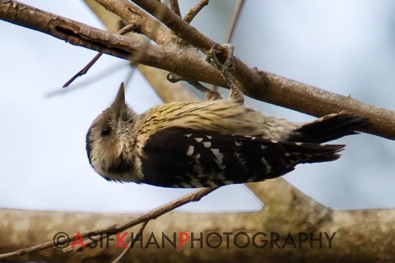 Grey-Capped Pygmy Woodpecker (Dendrocopos canicapillus) [星头啄木鸟 xīng-tóu zhuó-mù-niǎo, 'star-headed wood-pecking bird'] at Sheng Tai Yuan, Ruili, Yunnan, China