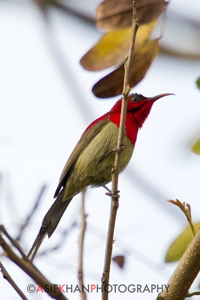Crimson Sunbird (Aethopyga siparaja) [黄腰太阳鸟 huáng-yāo tàiyáng-niǎo, 'yellow-rumped sun-bird'] at Sheng Tai Yuan, Ruili, Yunnan, China