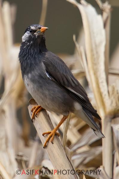 White Cheeked Starling (Sturnus cineraceus) [灰椋鸟 huī liáng-niǎo, 'grey starling'] at Beidaihe, Hebei, China