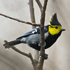 Yellow Cheeked Tit (Parus spilonotus) [黄颊山雀 huáng-jiá shān-què, 'yellow-cheeked mountain finch'] at Gong Qing Forest Park, Shanghai, China.