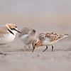 Red Necked Stint (Calidris ruficollis) [红颈滨鹬 hóng-jǐng bīn-yù, 'red-necked shore yu'] and Kentish Plover (Charadrius alexandrinus) [环颈鸻 huán-jǐng héng, 'ring-necked plover'] at Beidaihe, Hebei, China