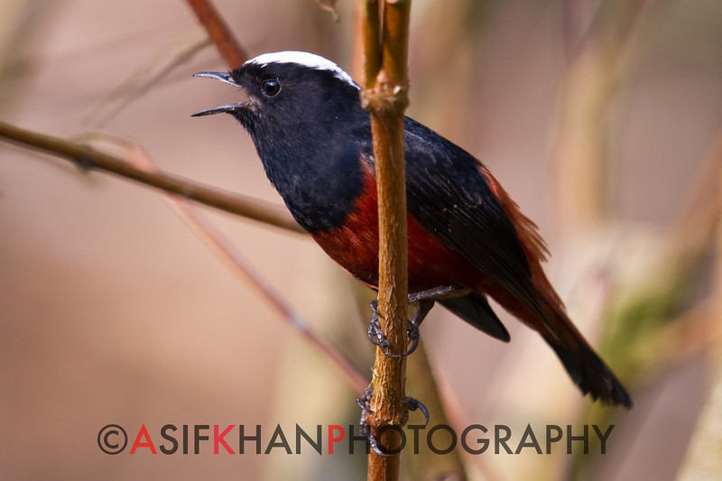 White-Capped Redstart (Chaimarrornis leucocephalus) [白顶溪鸲 bái-dǐng xī-qú, 'white-capped brook robin'] at Moli, Ruili, Yunnan, China