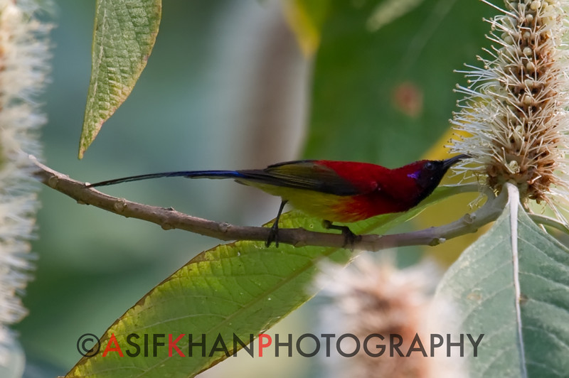 Mrs Gould's Sunbird (Aethopyga gouldiae) [蓝喉太阳鸟 lán-hóu tàiyáng-niǎo, 'blue-throated sun-bird'] at Nanjingli Ridge, Ruili, Yunnan, China