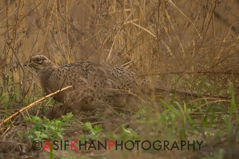 Ring Necked Pheasant (Phasianus colchicus) [环颈雉 huán-jǐng zhì, 'ring-necked pheasant'] at Happy Island, Hebei, China