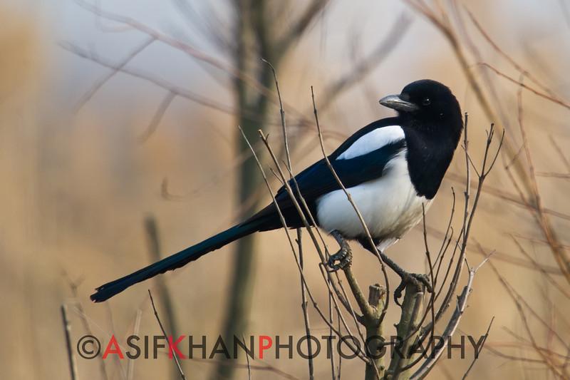Black Billed Magpie (Pica pica) [喜鹊 xǐ-què, 'magpie'] at Xinyanggang / Yancheng, Jiangsu, China.