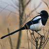 Black Billed Magpie (Pica pica) [喜鹊 xǐ-què, 'magpie'] at Xinyanggang / Yancheng, Jiangsu, China.