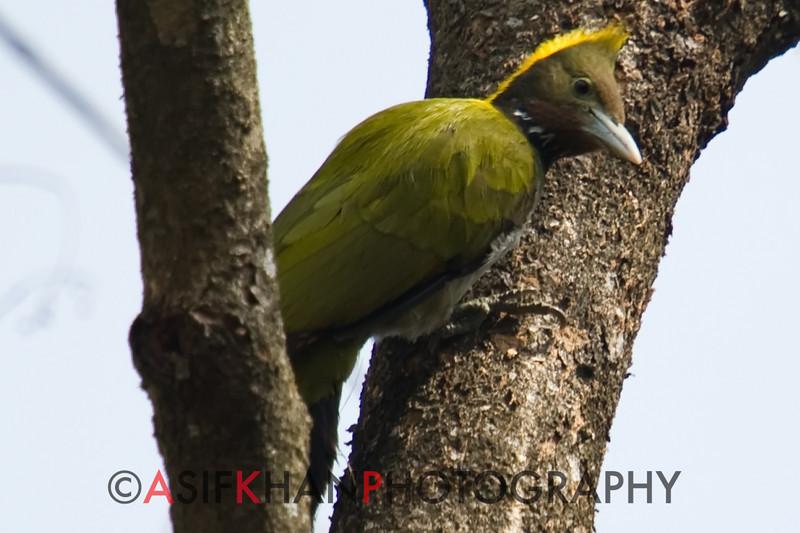 Greater Yellownape (Picus flavinucha) [大黄冠啄木鸟 dà huáng-guàn zhuó-mù-niǎo, 'large yellow-crested wood-pecking bird'] at Nanjingli Ridge, Ruili, Yunnan, China