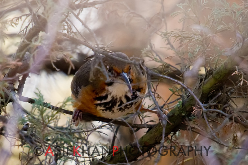 Spot-Breasted Scimitar Babbler (Pomatorhinus erythrocnemis) [锈脸钩嘴鹛 xiù-liǎn gōu-zuǐ méi, 'rusty-faced hooked-bill babbler'] at Xishan, Kunming, Yunnan, China
