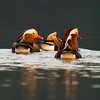 Mandarin Ducks (Aix galericulata) [鸳鸯 yuān-yang, 'yuan-yang'] at Yuanyang Lake ( Datangwu Resorvior), Wuyuan, China.