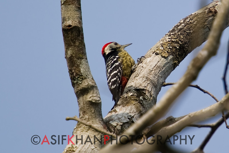 Darjeeling Woodpecker (Dendrocopos darjellensis) [黄颈啄木鸟 huáng-jǐng zhuó-mù-niǎo, 'yellow-necked wood-pecking bird'] at Nanjingli Ridge, Ruili, Yunnan, China