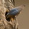 Chinese Nuthatch (Sitta villosa) [黑头䴓 hēi-tóu shī, 'black-headed nuthatch'] at Beidaihe, Hebei, China