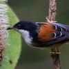 Rufous-Backed Sibia (Heterophasia annectens) [栗背奇鹛 lì-bèi qí-méi, 'chestnut-backed rare babbler'] at Nanjingli Ridge, Ruili, Yunnan, China