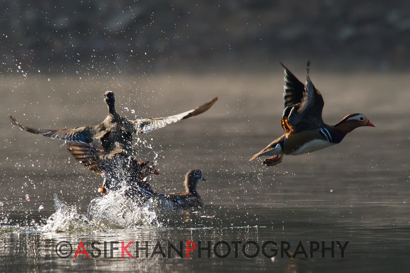 Mandarin Ducks (Aix galericulata) [鸳鸯 yuān-yang, 'yuan-yang'] taking off at Yuanyang Lake ( Datangwu Resorvior), Wuyuan, China.
