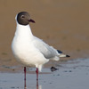 Black-Headed Gull (Larus ridibundis) [红嘴鸥 hóng-zuǐ ōu, 'red-billed gull'] at Beidaihe, Hebei, China