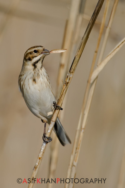 Reed Bunting (Emberiza schoeniclus) [芦鹀 lú wú, 'reed bunting'] overcast with reeds at Nanhui, Shanghai, China.
