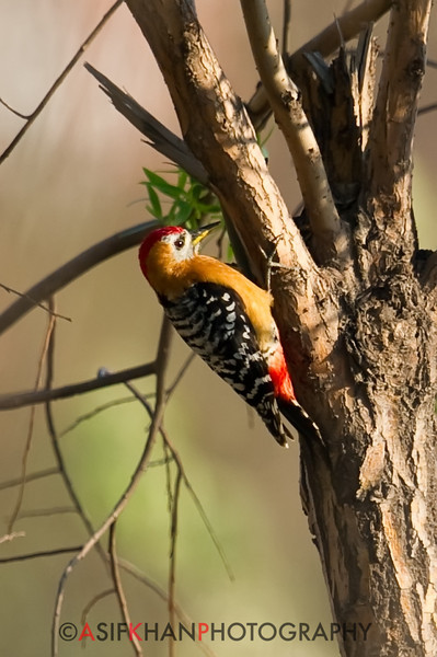 Rufous Bellied Woodpecker (Hypopicus hyperythrus) [棕腹啄木鸟 zōng-fù zhuó-mù-niǎo, 'reddish-bellied wood-pecking bird'] at Happy Island, Hebei, China