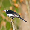 White Wagtail (Motacilla alba alboides) [白鹡鸰 bái jílíng, 'white wagtail'] at Moli, Ruili, Yunnan, China