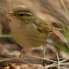 Radde's Warbler (Phylloscopus schwarzi) [巨嘴柳莺 jù-zuǐ liǔ-yīng, 'giant-billed willow warbler']  at Happy Island, Hebei, China