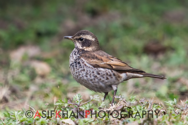 Dusky Thrush (Turdus naumanni) [斑鸫 bān-dōng, 'striped thrush'] at Gong Qing Forest Park, Shanghai, China.