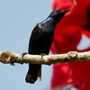 Purple Sunbird (Nectarinia asiatica) [紫花蜜鸟 zǐ huā-mì-niǎo, 'purple nectar bird'] at Sheng Tai Yuan, Ruili, Yunnan, China