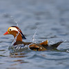 Mandarin Duck (Aix galericulata) [鸳鸯 yuān-yang, 'yuan-yang'] landing at Yuanyang Lake ( Datangwu Resorvior), Wuyuan, China.