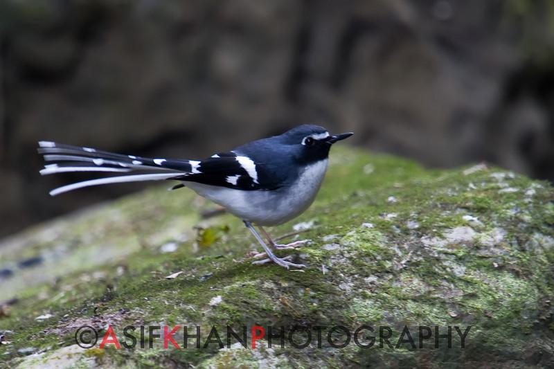 Slaty-Backed Forktail (Enicurus schistaceus) [灰背燕尾 huī-bèi yàn-wěi, 'grey-backed swallow-tail'] at Moli, Ruili, Yunnan, China