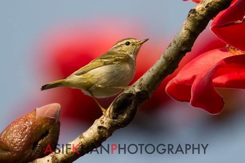 Yellow Browed Warbler (Phylloscopus inornatus) [黄眉柳莺 huáng-méi liǔ-yīng, 'yellow-browed willow warbler'] at Sheng Tai Yuan, Ruili, Yunnan, China