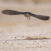 Red Rumped Swallow (Cecropis daurica) [金腰燕, jīn-yāo yàn, 'golden-rumped swallow'] at Beidaihe, Hebei, China