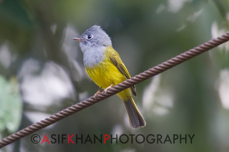 Grey-Headed Canary Flycatcher (Culicicapa ceylonensis) [方尾鹟 fāng-wěi wēng, 'square-tailed flycatcher'] at Moli, Ruili, Yunnan, China