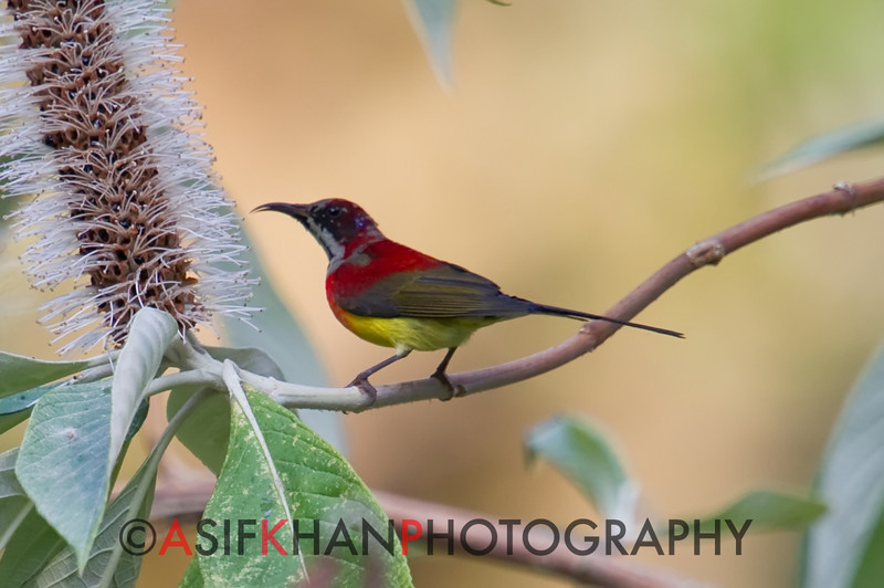 Mrs Gould's Sunbird (Aethopyga gouldiae) [蓝喉太阳鸟 lán-hóu tàiyáng-niǎo, 'blue-throated sun-bird'] at Nanjingli Ridge, Ruili, Yunnan, China