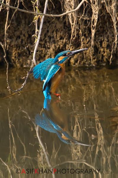 Common Kingfisher (Alcedo atthis) [普通翠鸟 pǔtōng cuì-niǎo, 'common cui bird'] at Poyang Wetland, Wucheng, Jiangxi, China.