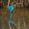 Common Kingfisher (Alcedo atthis) [普通翠鸟 pǔtōng cuì-niǎo, 'common cui bird'] at Poyang Wetland, Wucheng, Jiangxi, China.