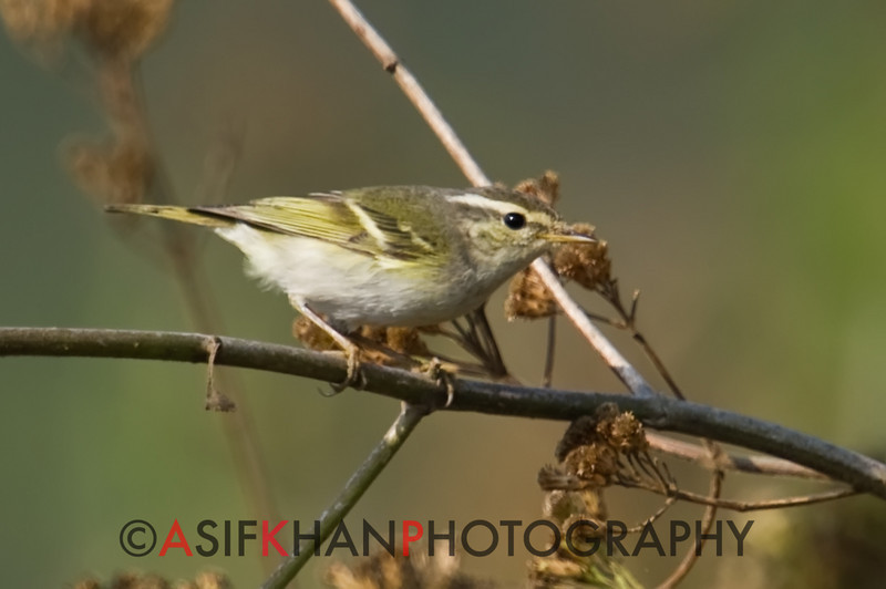 Yellow Browed Warbler (Phylloscopus inornatus) [黄眉柳莺 huáng-méi liǔ-yīng, 'yellow-browed willow warbler'] at Sheng Tai Yuan, Ruili, Yunnan, China