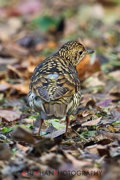 Scaly Thrush or White's Thrush (Zoothera dauma) [虎斑地鸫 hǔ-bān dì-dōng, 'tiger striped ground thrush'] at Gong Qing Forest Park, Shanghai, China.