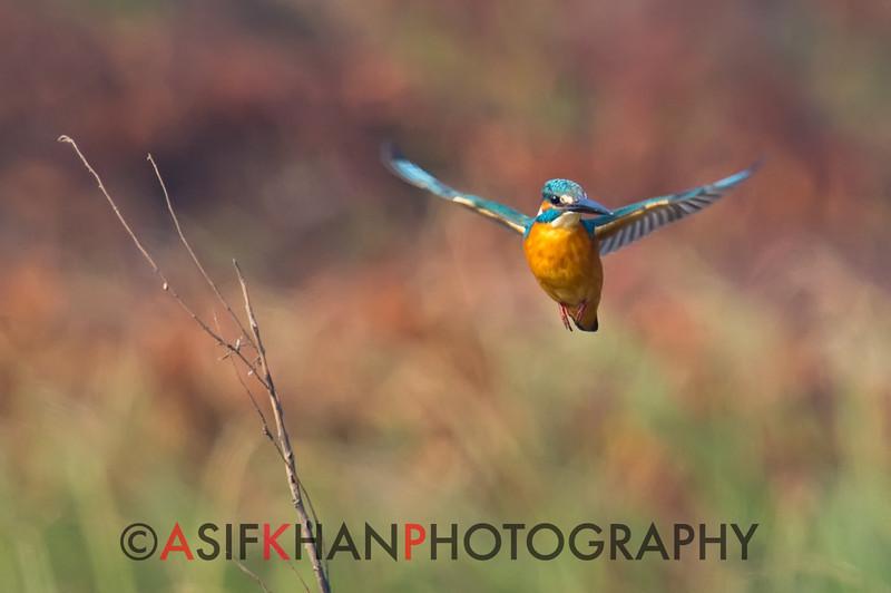 Common Kingfisher (Alcedo atthis) [普通翠鸟 pǔtōng cuì-niǎo, 'common cui bird'] hovering at Poyang Wetland, Wucheng, Jiangxi, China.