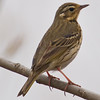 Buff Bellied Pipit (Anthus rubescens) [黄腹鹨 huáng-fù liù, 'yellow-bellied pipit'] at Beidaihe, Hebei, China
