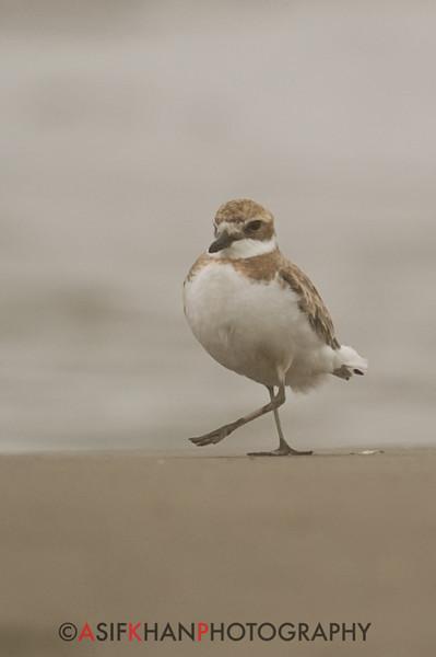 Lesser Sand Plover or Mongolian Plover (Charadrius mongolus) [蒙古沙鸻 Měnggǔ shā héng, 'Mongolian sand plover'] near Happy Island, Hebei, China