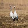 Red Crowned Crane (Crus japonensis) [丹顶鹤 dān-dǐng hè, 'red-capped crane'] at Xinyanggang / Yancheng, Jiangsu, China.