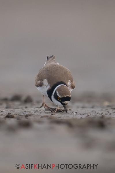 Little Ringed Plover (Charadrius dubius) [金眶鸻 jīn-kuàng héng, 'gold frame plover'] at Beidaihe, Hebei, China
