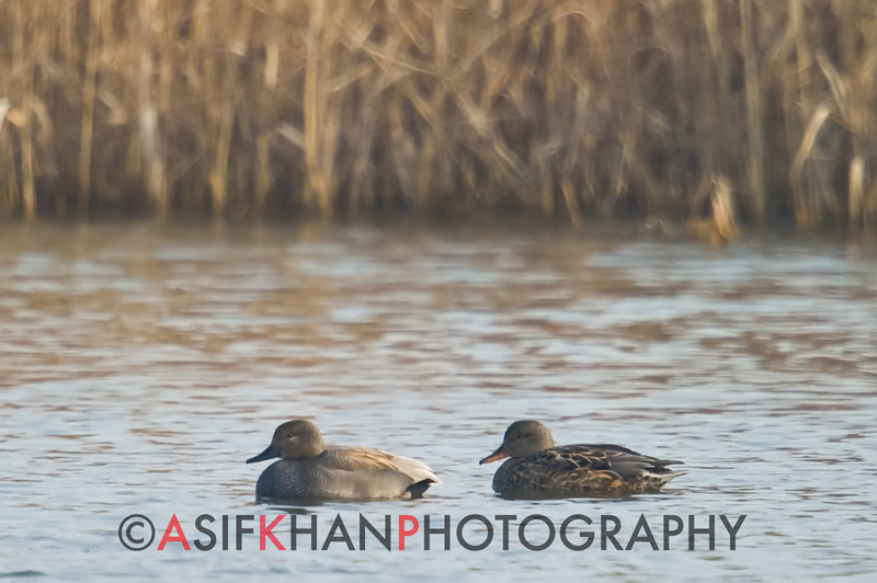 Gadwall (Anas stepera) [赤膀鸭 chì-bǎng yā, 'red-winged duck'] at Nanhui, Shanghai, China.
